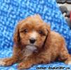 Predávame šteniatka Cavapoo.