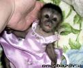 přátelské opice kapucínů na prodej