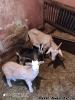 Predám kozu s kozliatkami