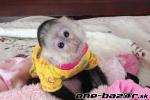 Na predaj nádherné opice kapucínok