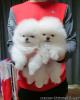 Precious Pomeranian Puppies