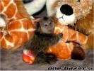 na predaj socializované opice mačiatkovitých opíc