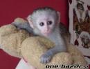 Nádherné a roztomilé dětské kapucínské opice na prodej