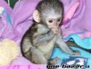 Predám rozkošné baby kapucínske opice ,