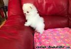 Pomeranian boo original--