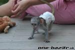Prodej nočník kapucínských opic