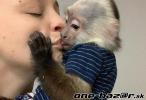 ka'na predaj hravé baby kapucínske opice''