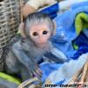 Rozkošné detské kapucínske opice na predaj teraz