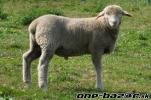 Dojič, pastier oviec
