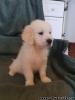 Krásne šteniatka zlatého retrievera