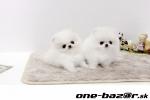 pomeranian biely mini -
