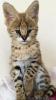 Serval a Savannah, mačiatka registrované v karakále