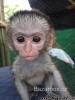 Na predaj inteligentné opice kapucínok