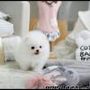 nádherné šteniatka šteniatka pomeranian na predaj.