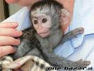 Na predaj zdravé kapucínske opice