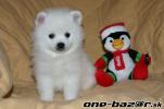 Predám Šteniatko Pomeranian Extra Mini s rodokmeňom -