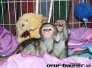 2 Inteligentní dětské kapucínské opice na prodej.