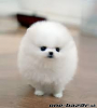 úžasné šteniatka šteniatka pomeranian na predaj.