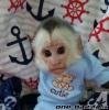 Na prodej roztomilé kapucínské opice,,