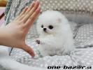 Na predaj 12 týždňov staré šteňatá šteniatka pomeranian.