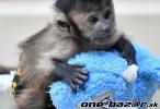 Na predaj socializované opice kapucínov