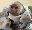 socializované dětské kapucínské opice na prodej...