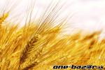 Predám tohtoročný jačmeň a pšenicu