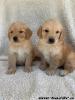 Samec a samica šteniatka zlatého retrievera na adopciu