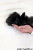 zdravý šálka šteniat pomeranian na predaj