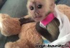 Na predaj 9 týždňov staré opice kapucínky