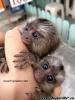 Na predaj nádherné opice kozmáčov s prstami